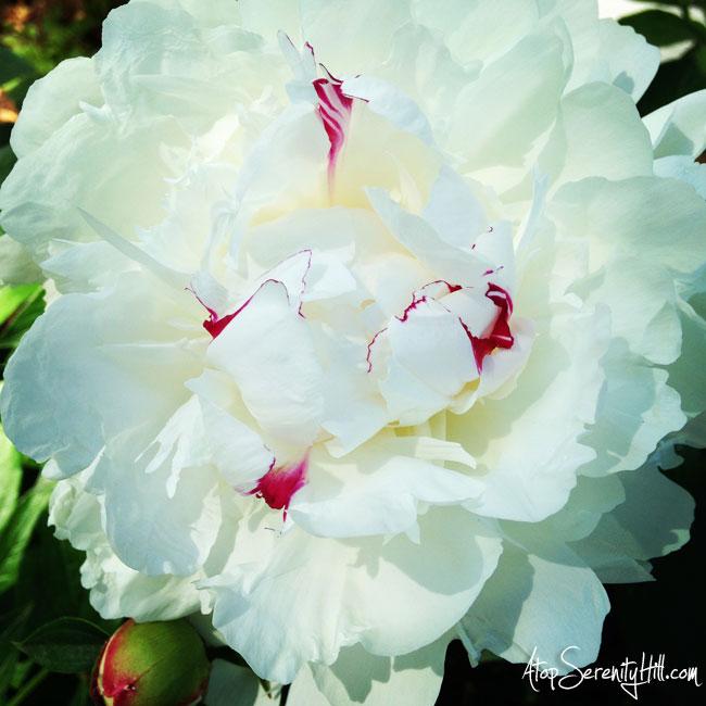 White peony in sunshine • AtopSerenityHill.com #photography #peony #flowers