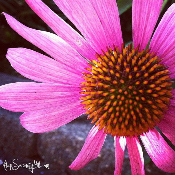 Purple cone flower • AtopSerenityHill.com #photography #summer #flowers