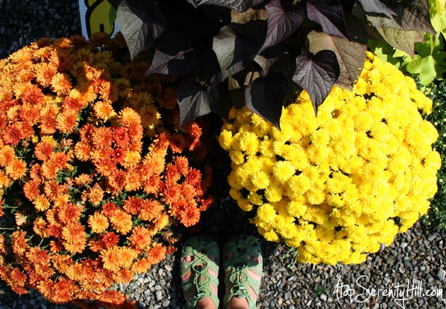 Fall visit to garden center: fall color photography • AtopSerenityHill.com #fallcolor #photography #mums