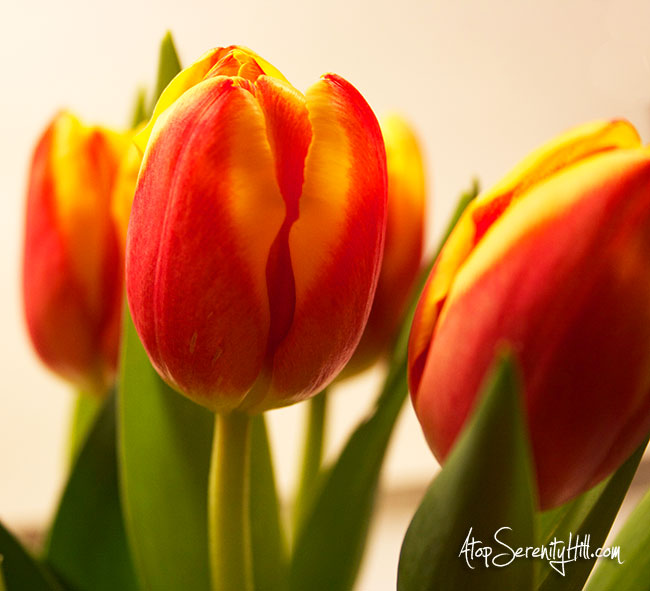 Red and yellow tulips • AtopSerenityHIll.com #photography #flowers #spring